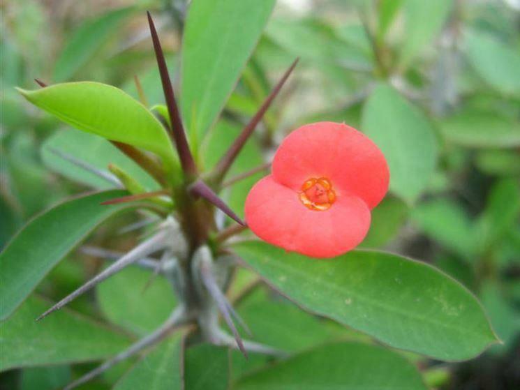 Euphorbia_mili