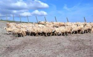 pecore_02