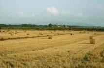 campo_cereali_02
