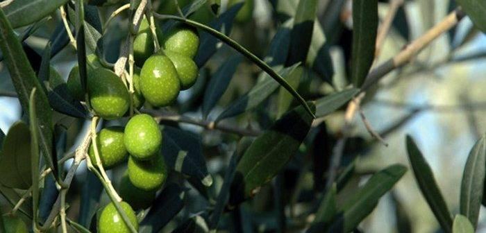 Olio_seggiano_olive_01