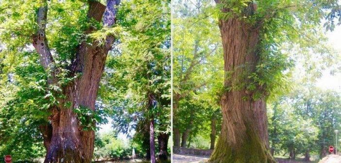 Santa Fiora. Al via il censimento degli alberi monumentali nel territorio comunale