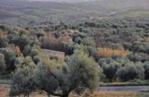 Semproniano_oliveti_04