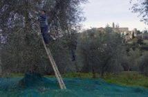 Seggiano_raccolta_olive_01