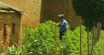 Carabinieri_coltivazioni_cannabis_01